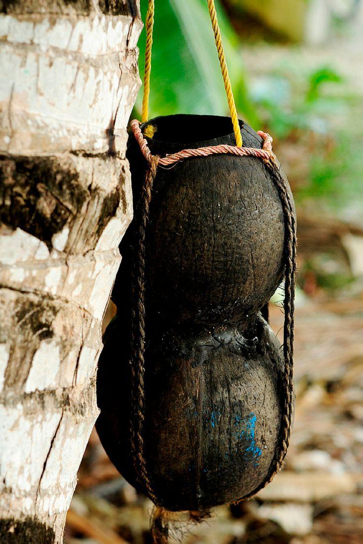 Raa Bandhi Traditional Maldivian toddy collecting