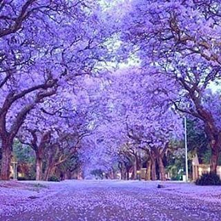 �or they can be so profound you�d swear mother nature just vomitted purple. | 15 Pictures Of Jacaranda Trees That Will Make You Weak At The Knees