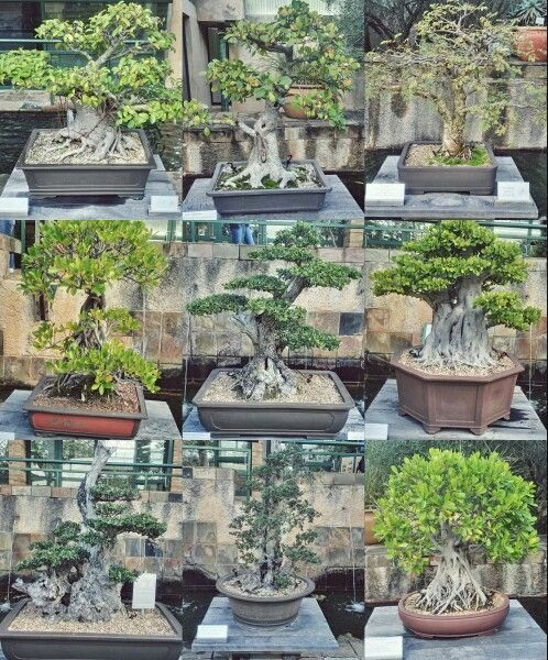 Different Species Of Bonsai Trees At Kirstenbosch Botanical Gardens In Cape Town.