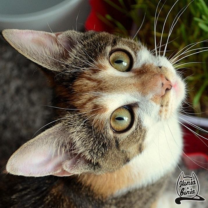 Benia  #cat #cats #benia #heniabenia #animals #pet