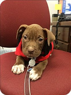 SWEET LITTLE TIGGER NEEDS A LOVING FAMILY! FILL OUT AN APPLICATION IF YOU ARE INTERESTED IN HIM!!! QUAKERTOWN, PA...Quakertown, PA - Pit Bull Terrier Mix. Meet Tigger a Dog for Adoption.