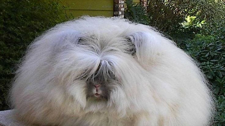 angora rabbit images - Yahoo Search Results