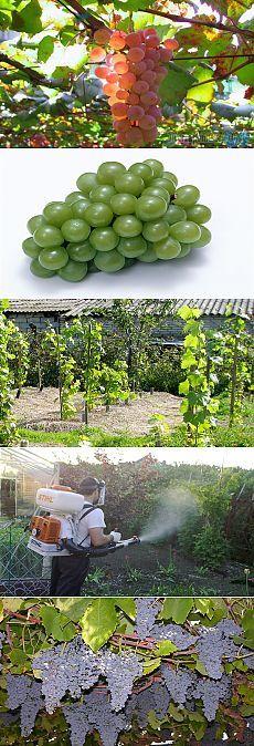 Осенняя обработка винограда от болезней или как получить здоровый урожай