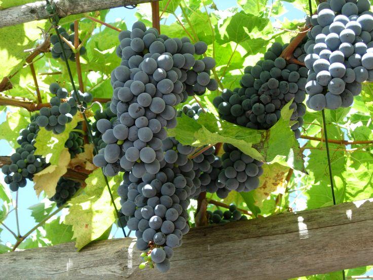 grappoli di uva nera in Liguria