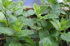 Plant dit kruid in je tuin of plantenbak. En gebruik het bij je lamsvlees, in je ijs, in jam en maak er thee van en nog veel meer. Citroenmelisse een ideale plant.