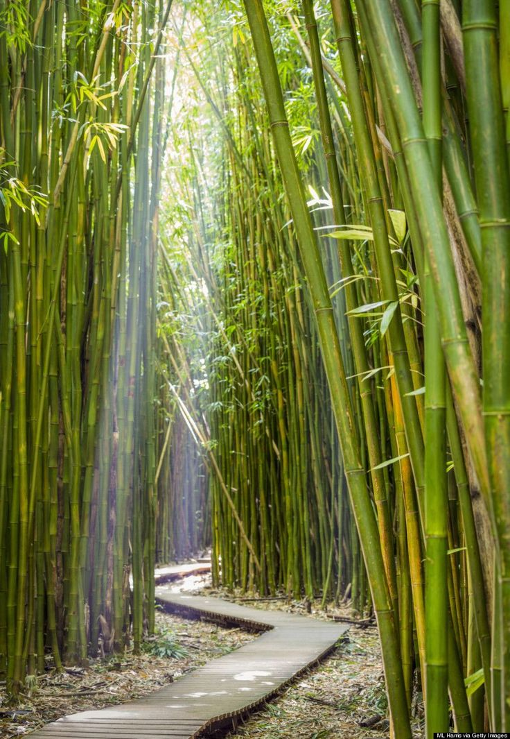 Bamboo Forest, Haleakala National Park, Maui, HI - Hawaii became the 50th state of the United States on August 21, 1959.