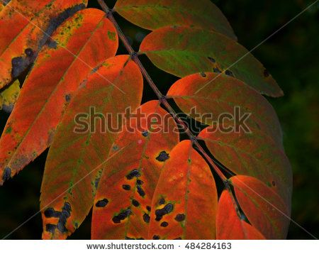 Texture autumn yellowing of leaves of trees http://www.shutterstock.com/g/kimbelij?rid=2712211