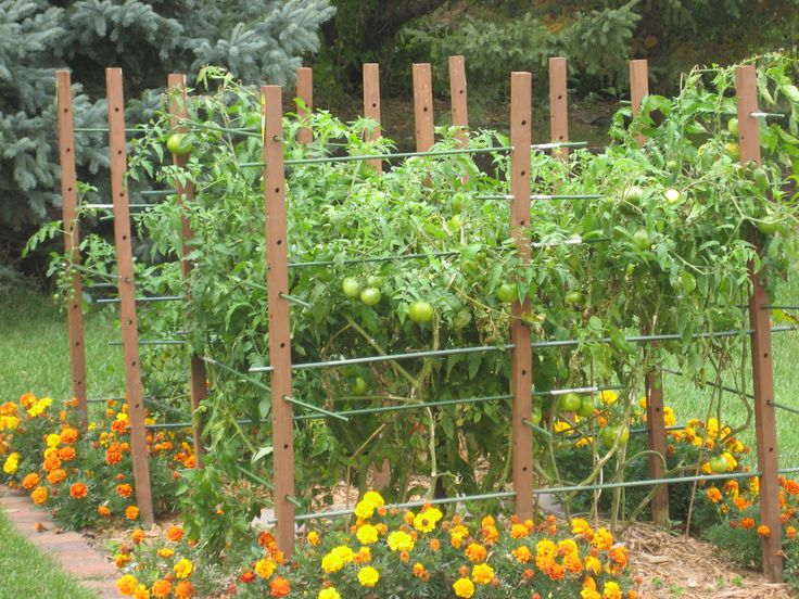 Tomato Garden Ideas watering tip for tomatoes ill remember this next Where You Eat Matters Tomato Trellistomato Gardengarden