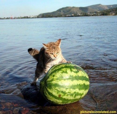 Cat defies logic: Watermelon Fishinghard, Rolls Watermelon, Funny Pictures, Watermelon Pushers, Baby Animal, Funny Cat Pics, Funny Animal, Cat Photos, Cat Memes