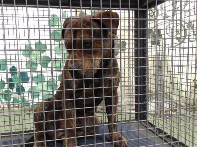 Www Petharbor Com Pet Sbco1 A712668 Pitbull Terrier Pitbulls