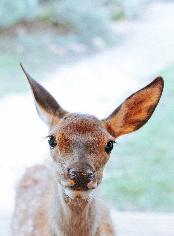 Poster shop - This is a photo of our little poddy fawn. She stands at our kitchen window every morning looking in for a bottle or just a cuddle and aside from the fact that she is eating her way through every rose bush in our garden, we think she's pretty cute! This is a great big poster printed on thick 200gsm bond paper. Size is AO (roughly 841mm X 1189mm). I can also supply this framed if you prefer, please email me to discuss! sophie_hansen@me.com