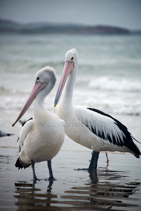 Pelicans Brooms Head. Visit - http://art-worx.com/catalog/product/view/id/64  #animalpresence #visualimages