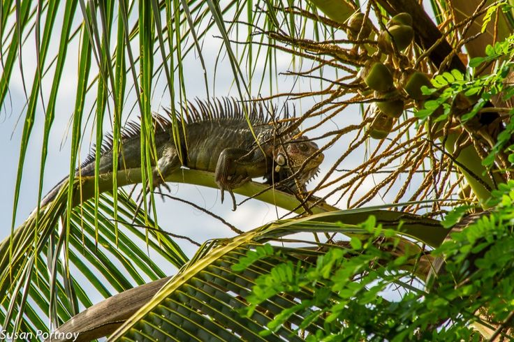 Iguana climbs along a branch of a tree in Costa Rica