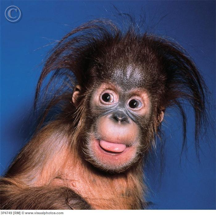 orangutan (Pongo pygmaeus), one year old