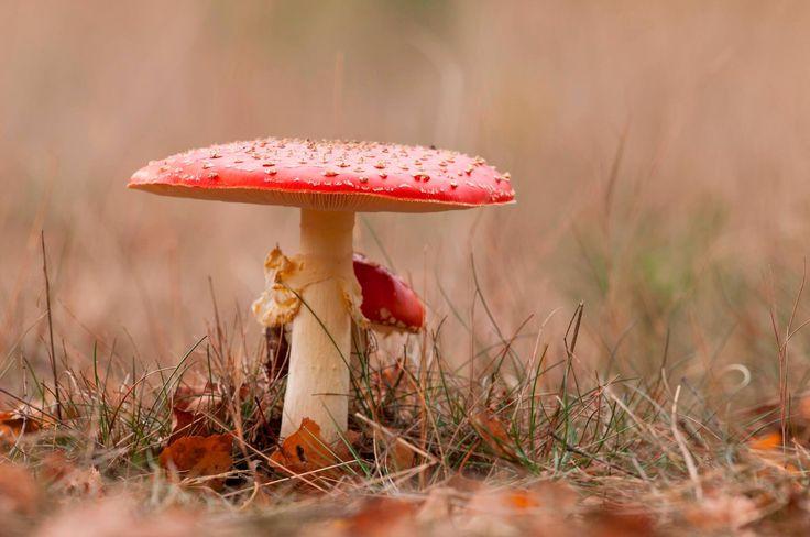 Rood met witte stippen - Paddestoel - Herfst - Hoge Veluwe