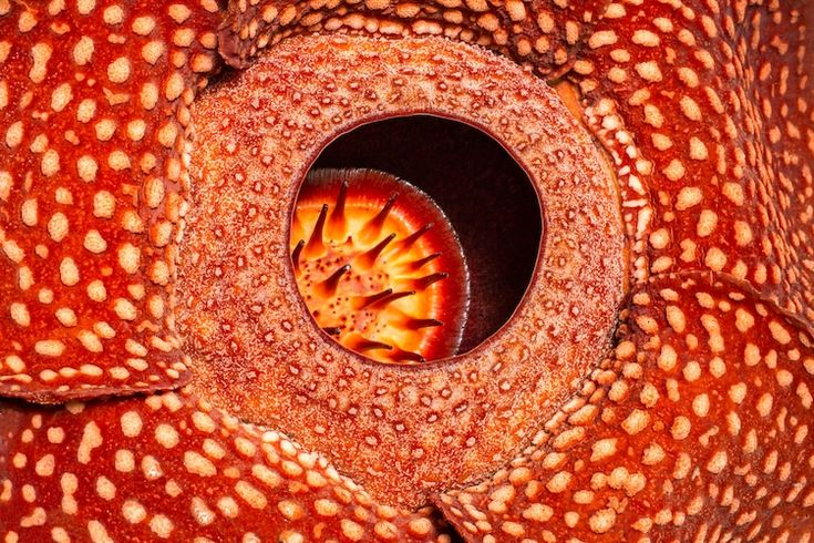 World's Largest Flower—Rafflesia—Recorded in West Sumatra