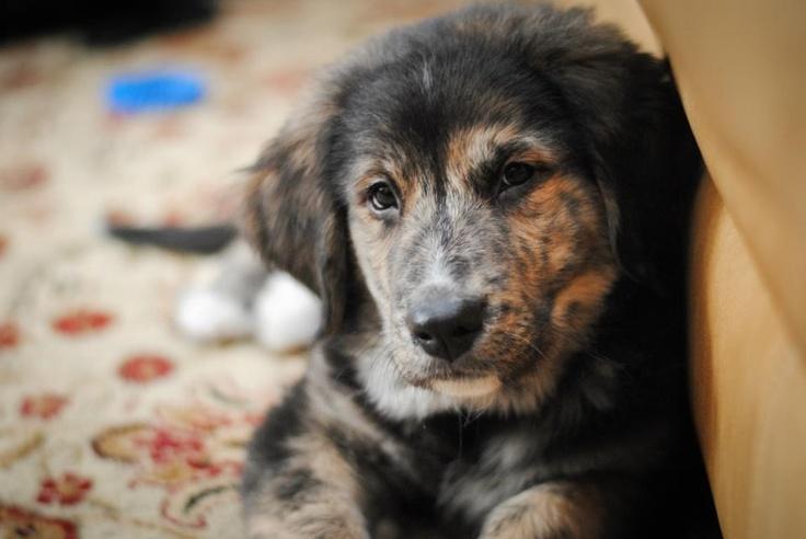 my Leo golden retriever x Bernese mountain dog