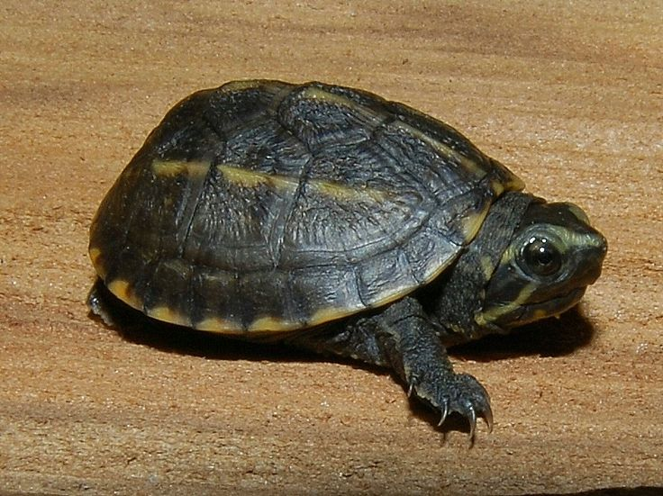 Three Striped Mud Turtle for sale from The Turtle Source... I'm getting two of them next hatching season!!!