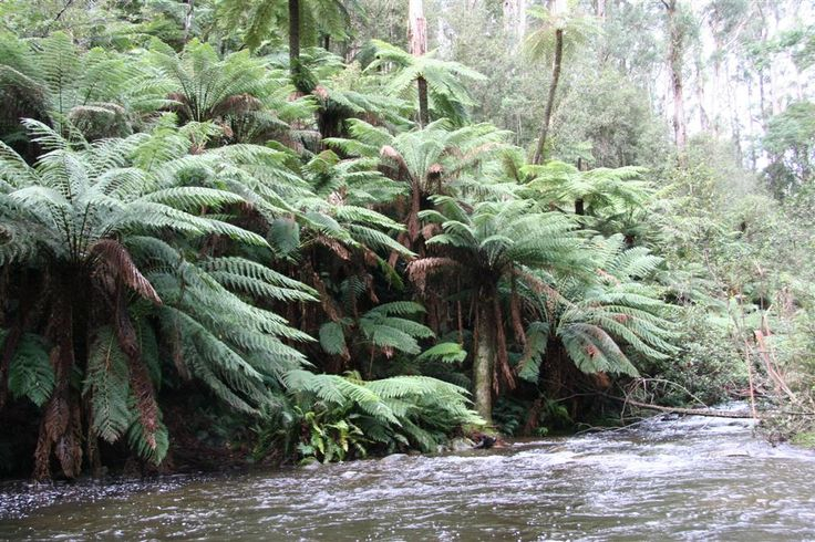 Cyathea australis and Dicksonia antarctica tree ferns growing by a stream at Badgers Creek, Victoria, Australia