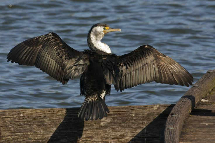 1000  images about birds  suliformes  frigatebirds  darters  anhingas  boobies  cormorants