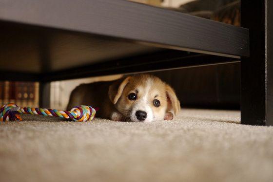 #corgi #dog #puppy #animal