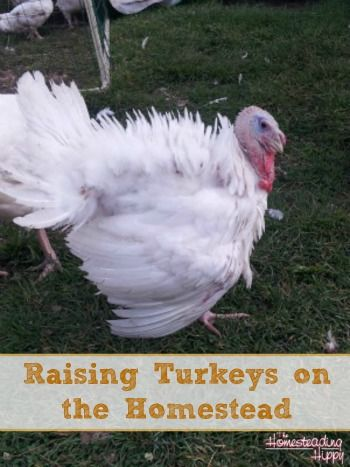 With a unique personality and usefulness for meat, it's easy to see why raising turkeys is a fun adventure! The Homesteading Hippy #fromthefarm #turkeys