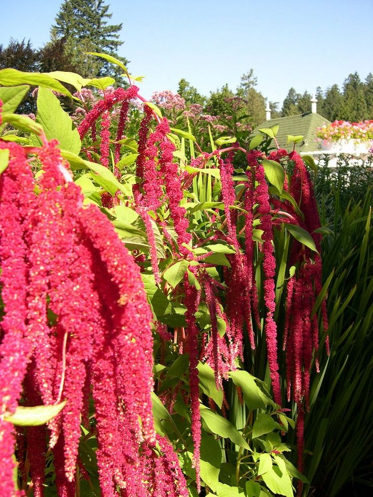 Growing love lies bleeding can provide an unusual, eyecatching specimen in garden beds or borders. For tips on growing love lies bleeding flower, click here to read this article.