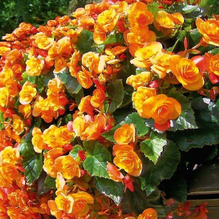 Begónie hlíznatá vzpřímená oranžová