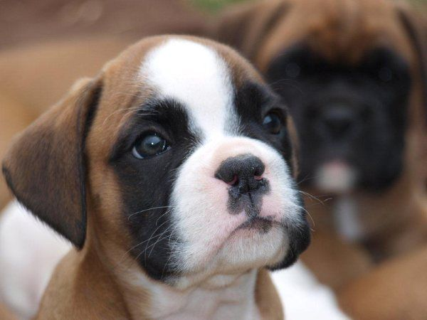 puppies boxer puppies | Boxer puppies for sale in ipswich, Suffolk UK - Boxer puppy and dogs ... #boxerdog #boxerpuppy