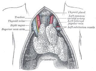 Timusul - anatomie si fiziologie