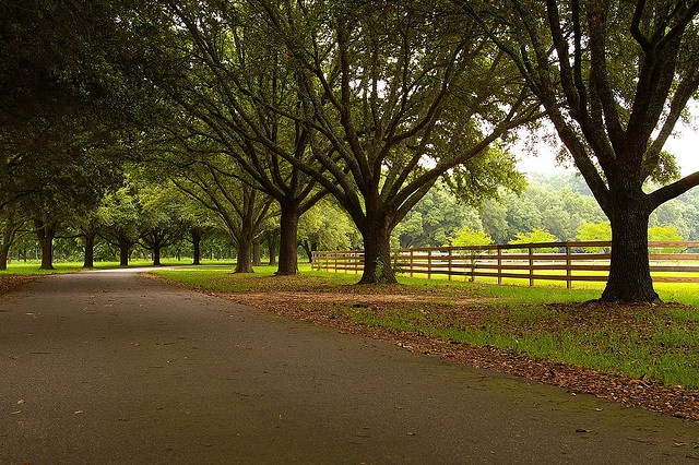 Pecan Trees Near Bastrop, Louisiana. Aren't they majestic?