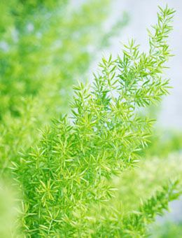 The asparagus fern is generally grown as a houseplant in pots and hanging baskets. The care for this plant involves providing optimum growth conditions, which include adequate sunlight, water and using well-drained and nutrient-rich soil. In this following Buzzle article, we will go into a little more detail about the factors involved in its care.