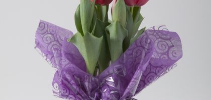 Como cuidar tulipanes de floreria