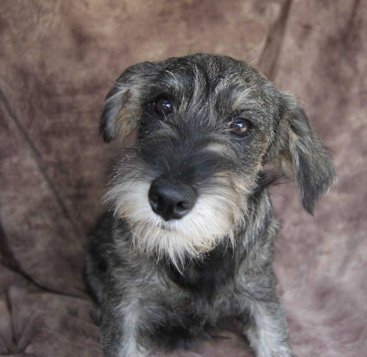 Standard Schnauzer Puppies For Sale ~ Featured Puppies