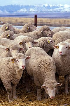 Australian Merino sheep.