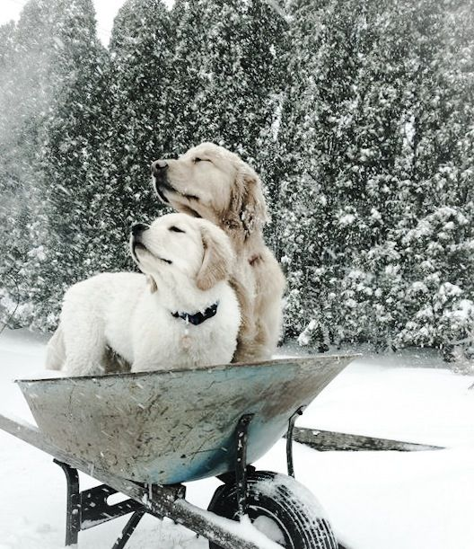 .Molly and Tanner loved the Snow - They use to run really fast through it.  They would come in with snowballs hanging from their fur like ornaments!