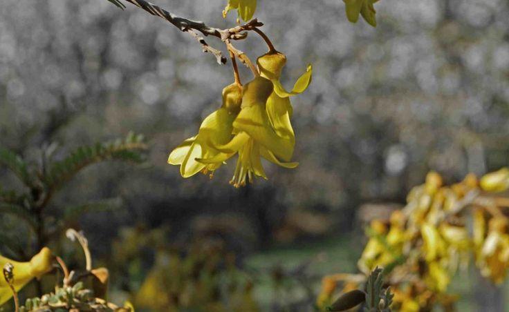 Toromiro - Jardin Catemito