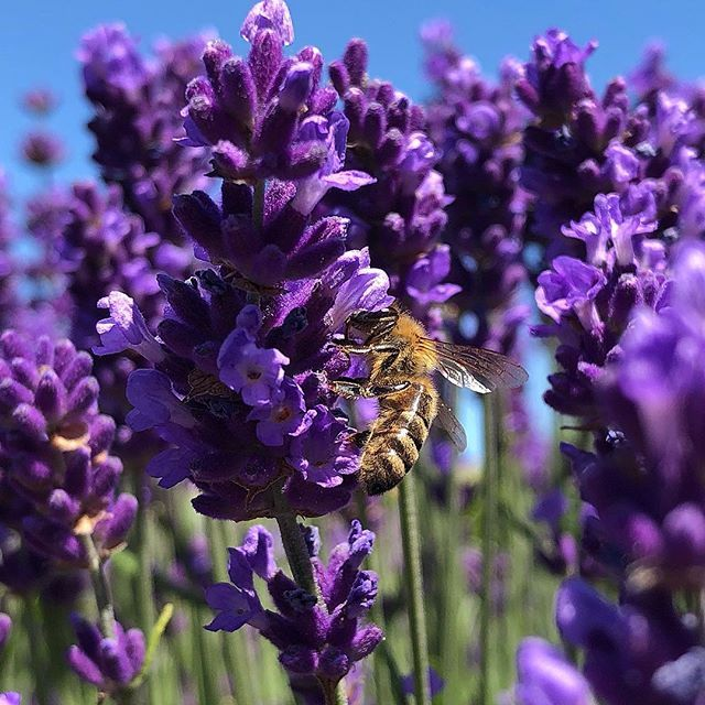 New The 10 Best Garden Ideas Today With Pictures German Germany Lavendelliebe Lavendel Lavender L Lilac Flowers Amazing Gardens Nature Photography