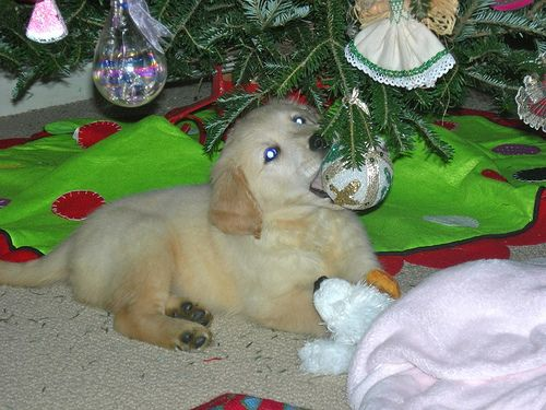 Looks just like my first xmas pup tupac!