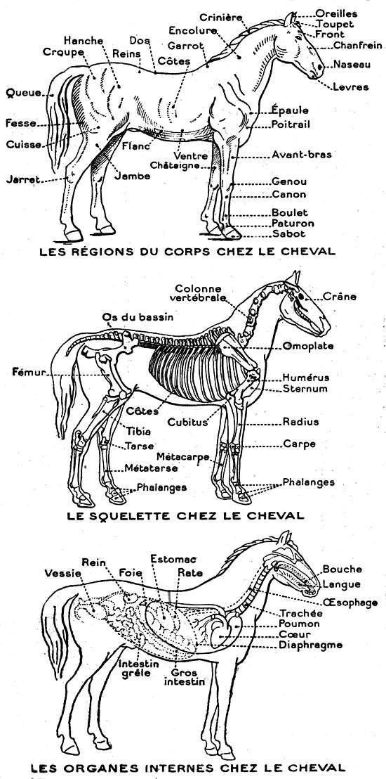 squelette cheval, sabot, tête, anatomie