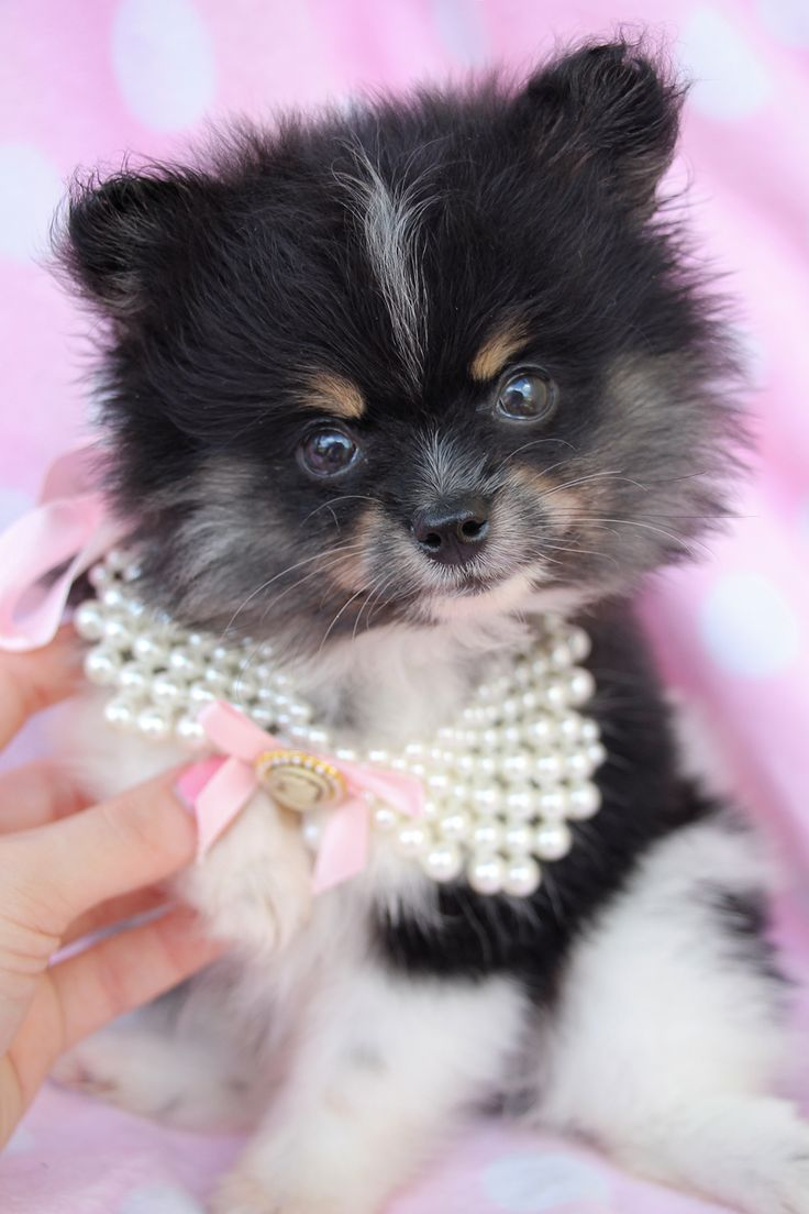 pomeranian puppies for sale in florida pomeranian puppies south florida doobie 1921