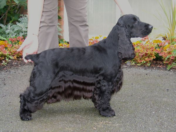 English Cocker show dog. A much leaner head and less profuse coat than the American Cocker.
