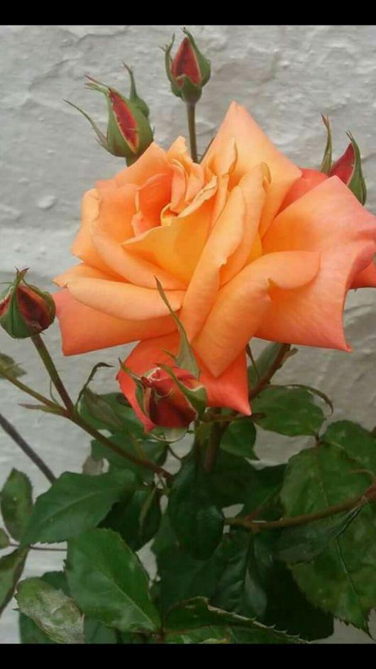 Esta  rosa es para ti amorrrrrrrrrrr
