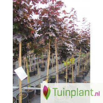Rode esdoorn (Acer platanoides 'Crimson Sentry')
