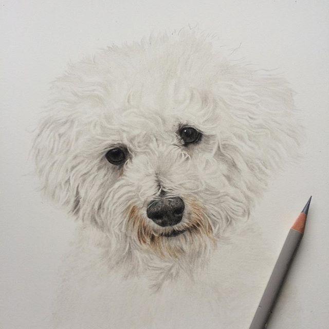 Fantastico Imagenes Perros Dibujos Anatomia Consejos Acuarela Bichon Frise Bichon Frise Dibujos De Perros Pintura Perro Perros En Caricatura