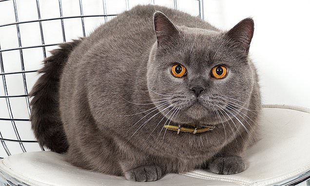 Meet Must Have British Shorthair Breed Which Is Loved By