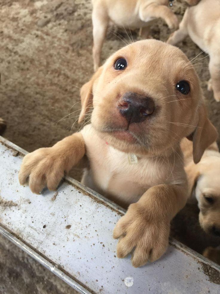 Je vous présente Oscar, un chiot labrador retriever de couleur roux renard. Il a…