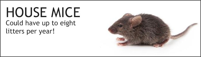 Looking for a safer all natural way for mouse control? Look at these 10 tips that repel mice from your home that works with no risk!