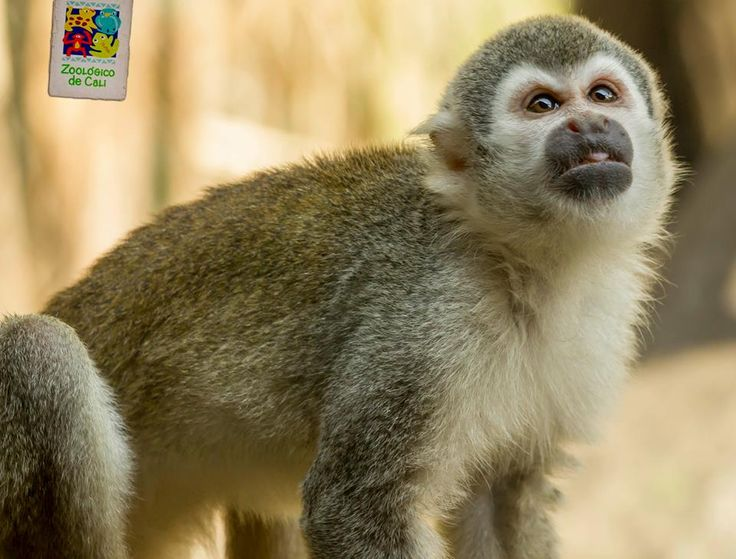 Titi Ardilla en el Zoologico de #Cali ValledelCauca #Colombia #MiCaliSoñada