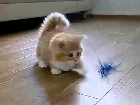 ♥ El Gato Mas Tierno Del Mundo ♥ Los Mejores videos de gatos ★ Humor Gat...